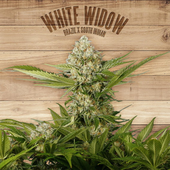 The plant Organic Seeds 1-2 White Widow Indica-Sativa Feminizada