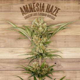The plant Organic Seeds 2-1 Amnesia haze Sativa Feminizada