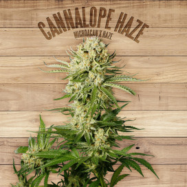 The plant Organic Seeds 2-2 Cannalope Haze Sativa Feminizada