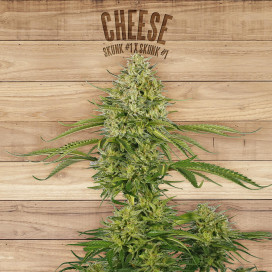 The plant Organic Seeds 2-3 Cheese Indica-Sativa Feminizada