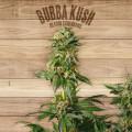 The Plant Organic Seeds 3-1 Bubba Kush Indica Feminizada Flor