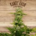 Seed The Plant - Generación F3 - Kandy Kush