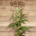 The Plant Organic Seeds 4-3 Sour Diesel Hibrida Feminizada Flor