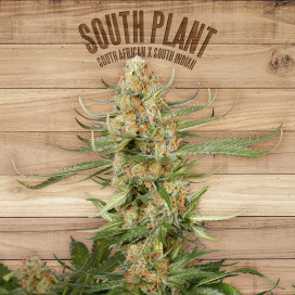 The plant Organic Seeds 1-1 South Plant Sativa Feminizada