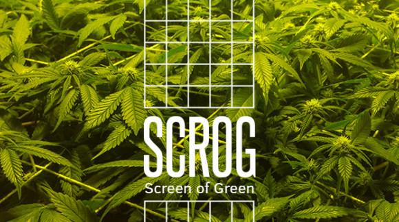 ¿Qué es el Scrog en el cultivo de marihuana?